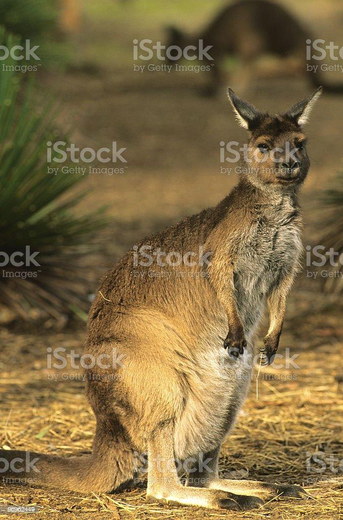 Alert Kangaroo royalty-free stock photo