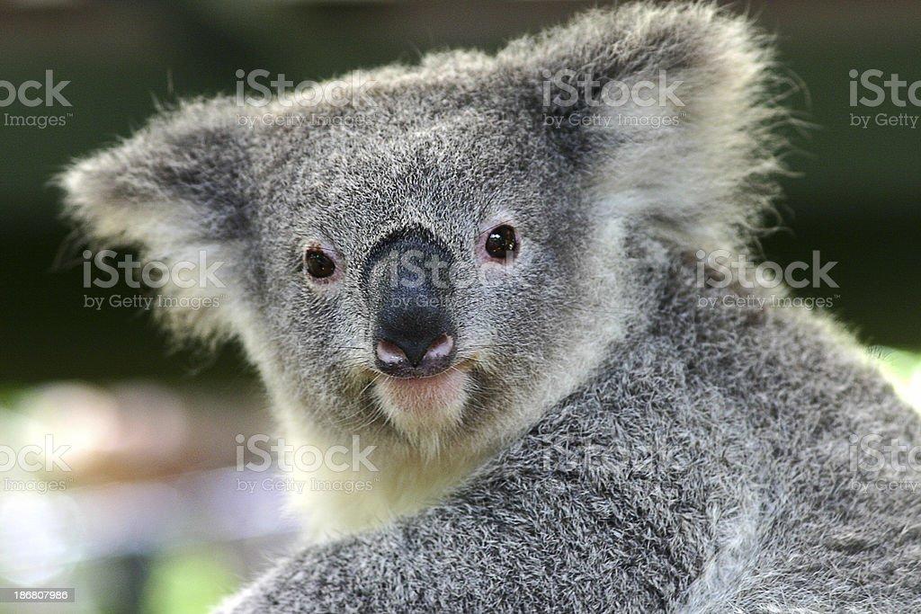 Alert Koala royalty-free stock photo