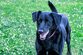 A friendly, alert, adult female Labrador Retriever mixed breed pet dog is standing panting with her mouth open while happily wagging her tail. She is standing in a clover-blanketed front yard grass lawn on a summer day in the suburbs near the city of Rochester in western New York State.