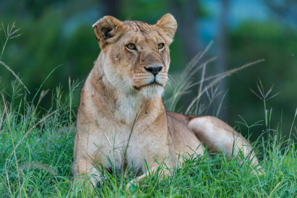 alert lioness. - lioness stock photos and pictures