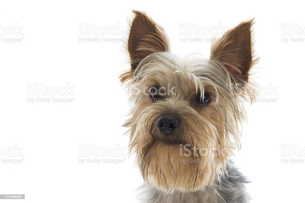 Alert Looking Yorkshire Terrier Portrait royalty-free stock photo