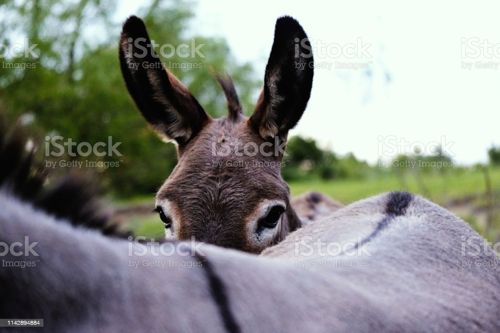 Funny mini donkey during summer hiding behind friend, looking at...