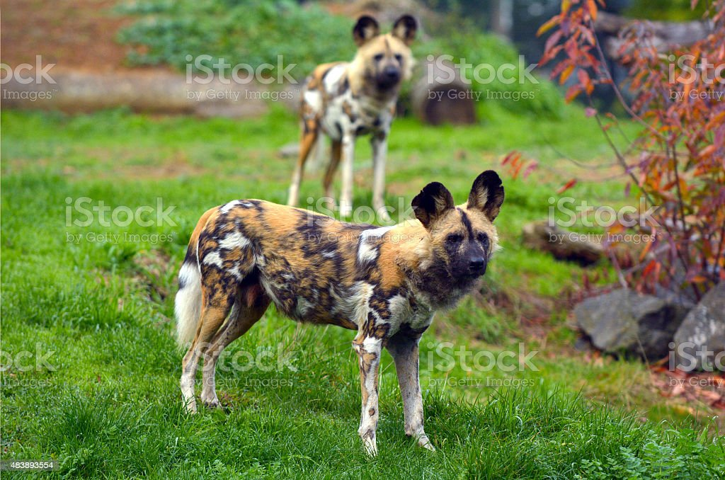 Alert Painted Hunting Dogs stock photo