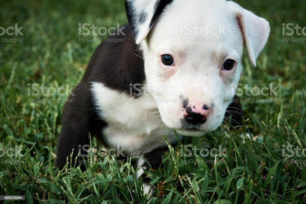 Alert Pitbull Welpen in Grass – Foto