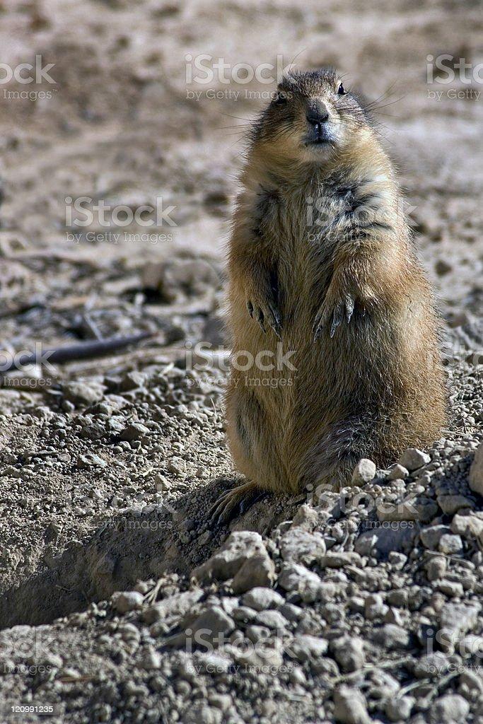 Alert Prairie Dog by Burrow royalty-free stock photo