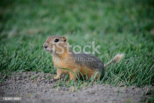 A prairie dog is alert near the burrow in it's habitat