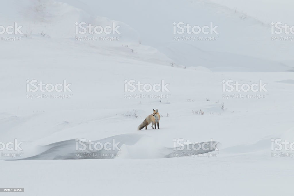 Alert red fox in Yellowstone National Park, Wyoming royalty-free stock photo