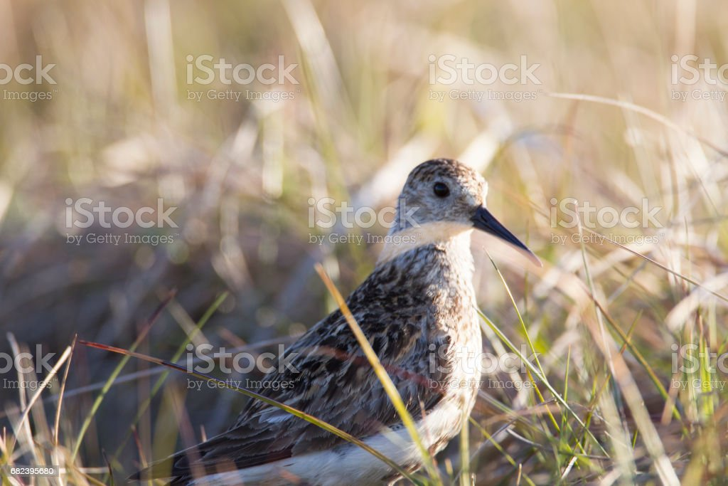 Alert Sandpiper. royalty-free stock photo
