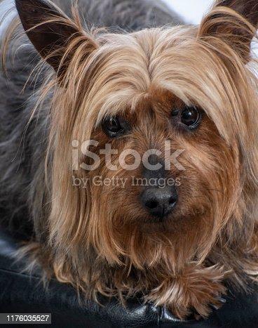 Alert Silky Terrier dog