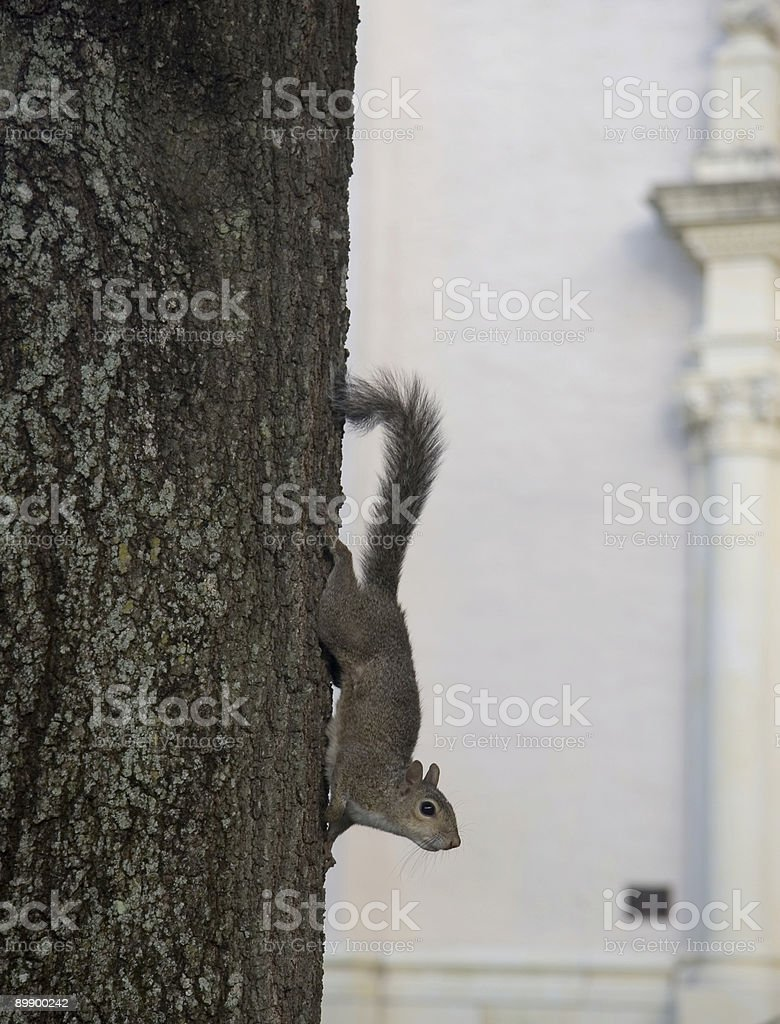 alert squirrel royalty-free stock photo