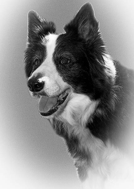 Alert stance of a Border Collie stock photo