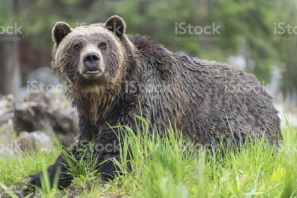 Alert, Wet Grizzlybär im Wald – Foto