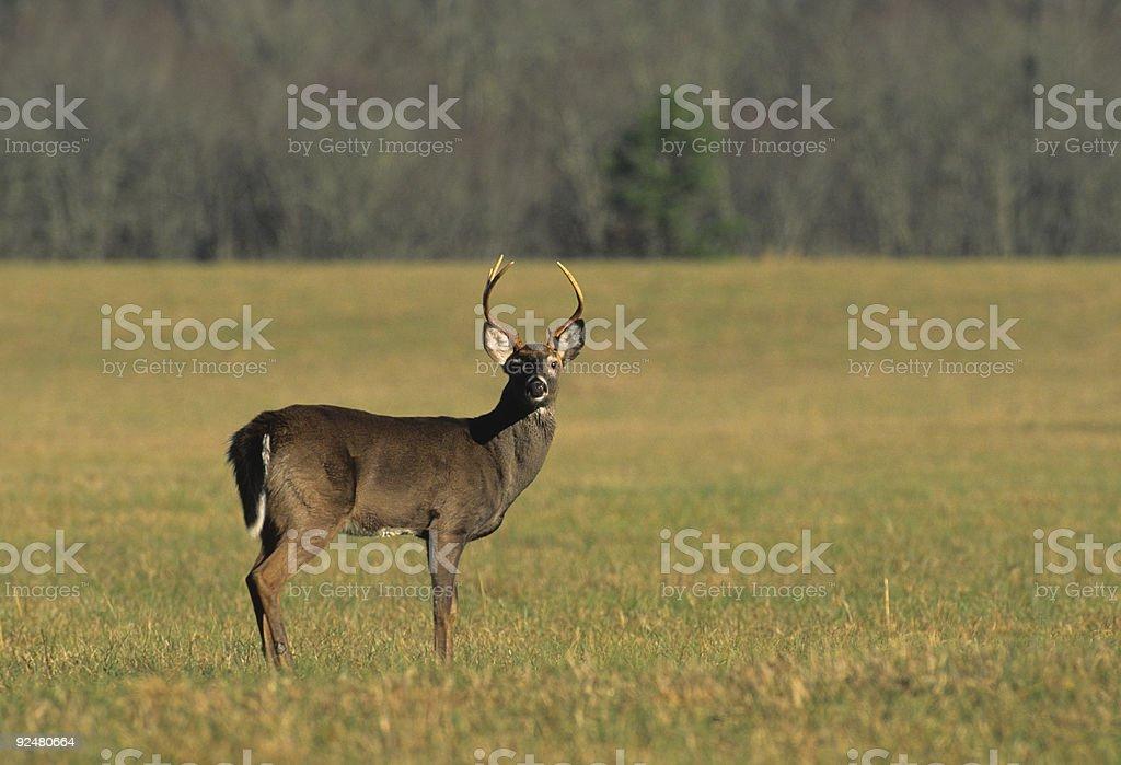 Alert White-tailed Buck royalty-free stock photo