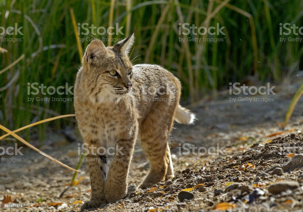 Alert wild bobcat pauses and turns stock photo