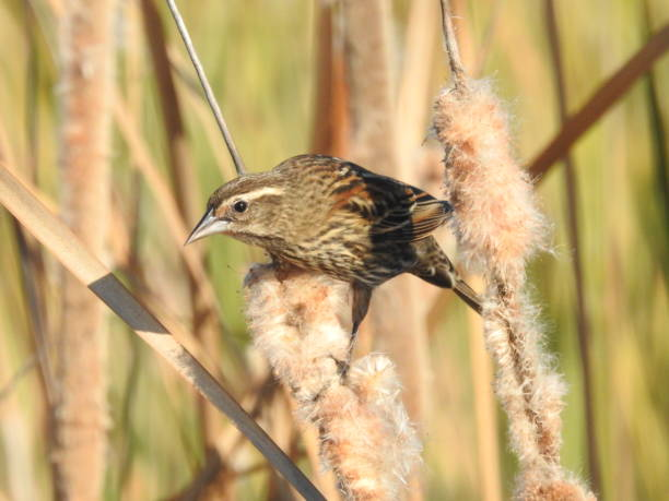 Alert wren perched on a cattail stock photo