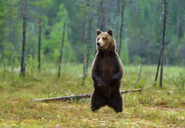alertó a oso marrón eurasiático de pie sobre las patas traseras en un día lluvioso en ciénaga - oso fotografías e imágenes de stock