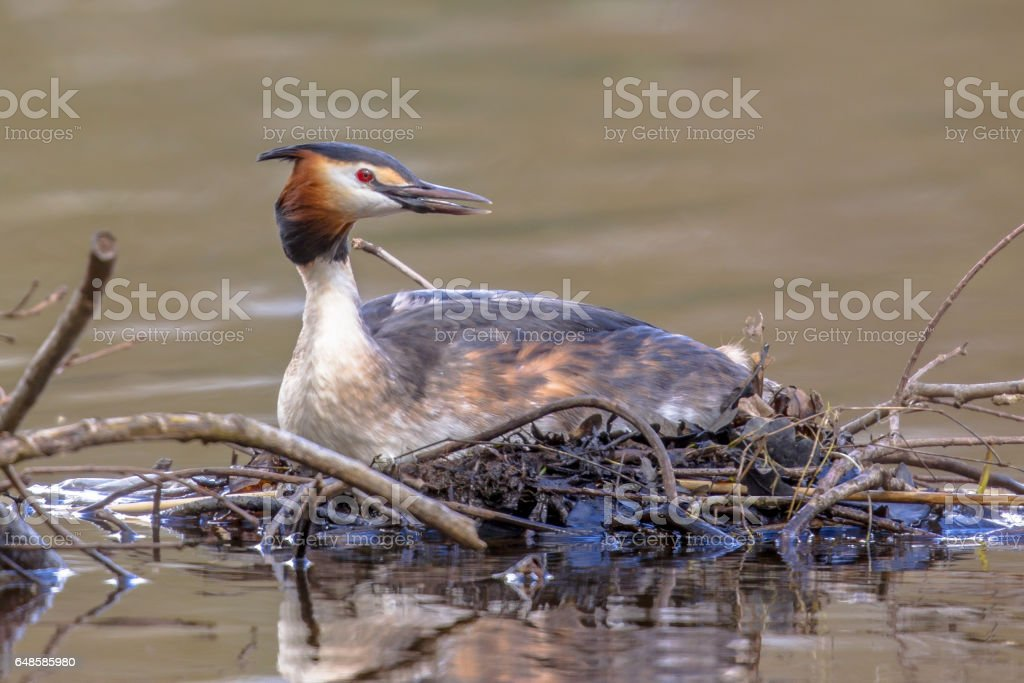 Alerted Great crested Grebe on nest stock photo