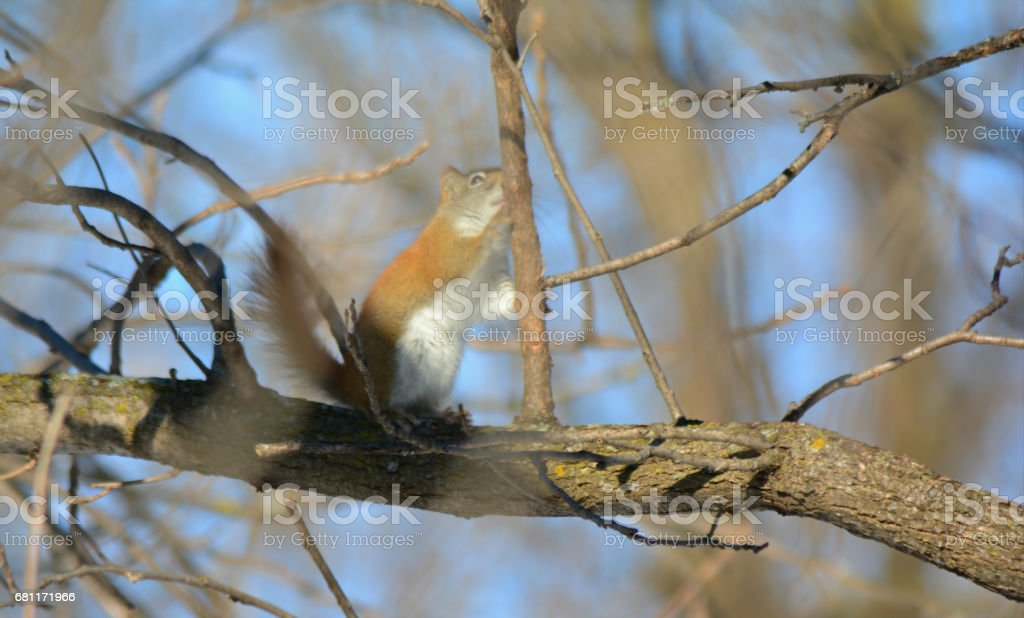 Alerted Red Squirrel On A Tree Limb stock photo