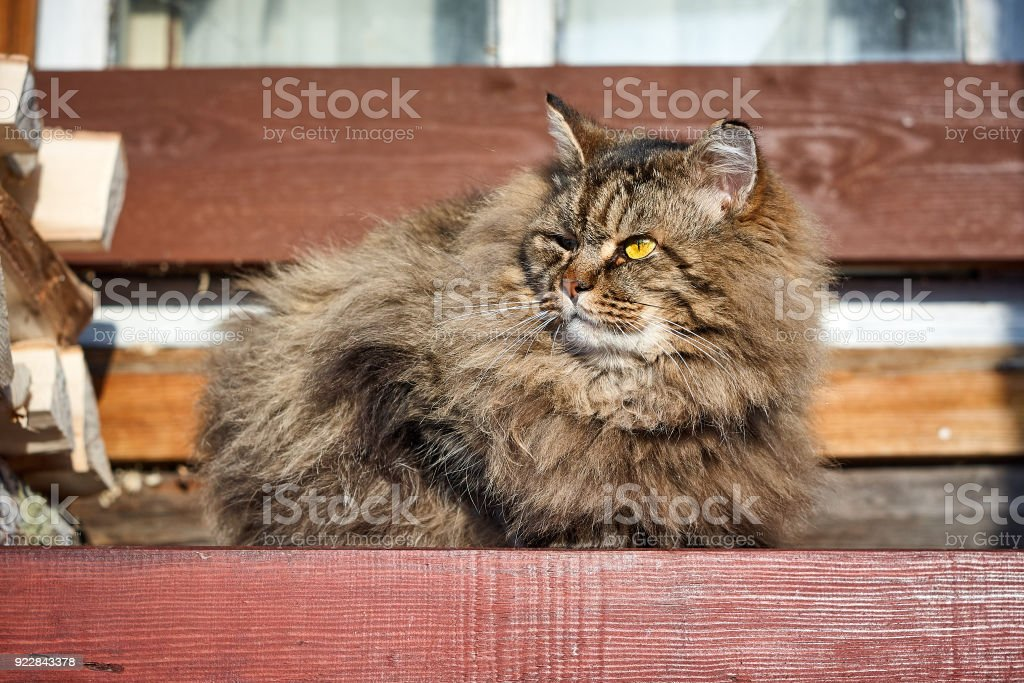 alerted siberian cat look side on bench stock photo