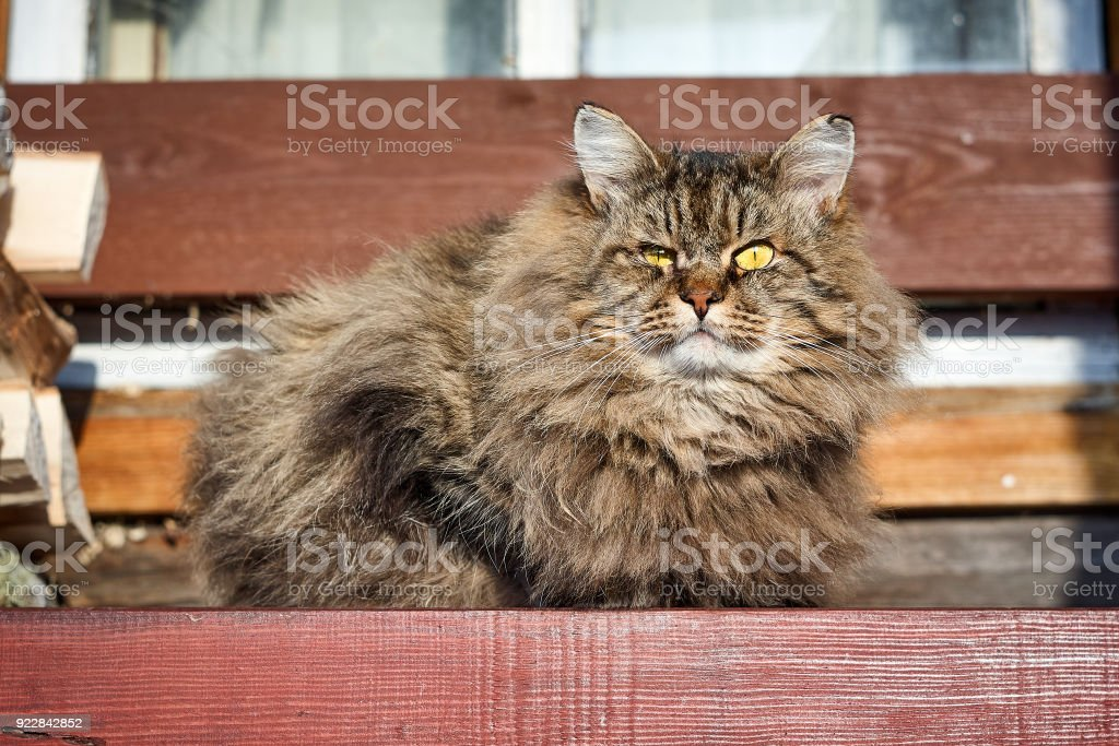 alerted siberian cat look up at front on bench stock photo