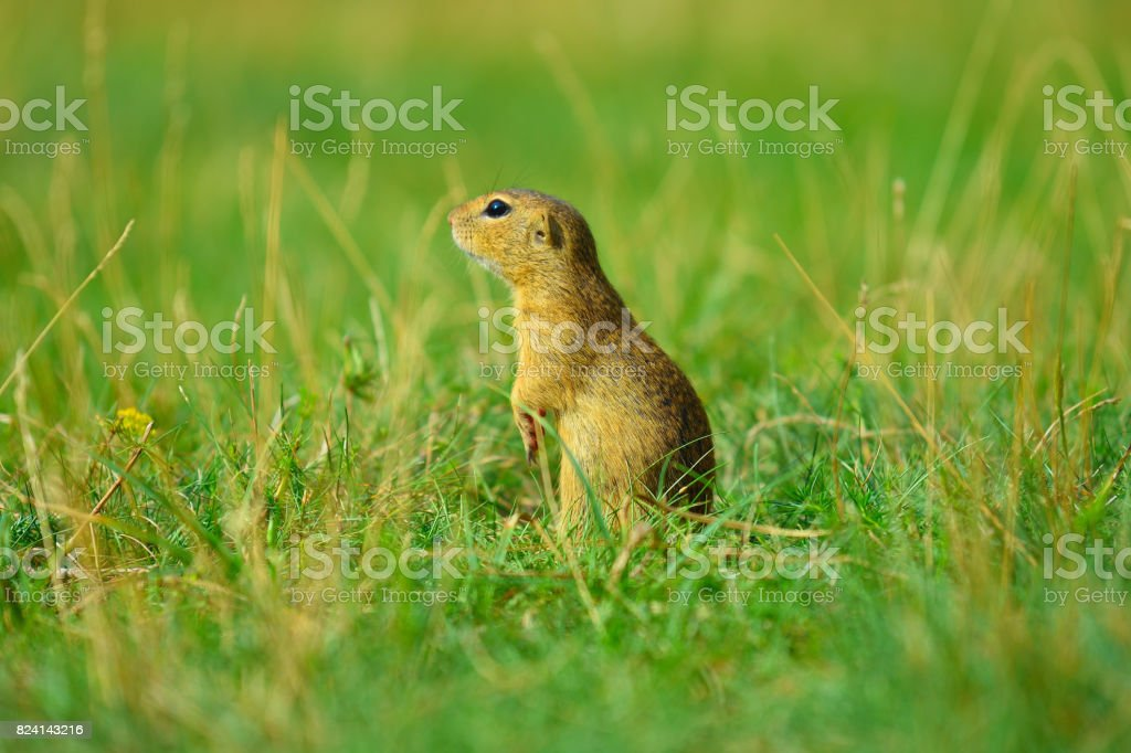 Alerted squirrel . Ground squirrel alert and watching around. Cute mammal on meadow stock photo