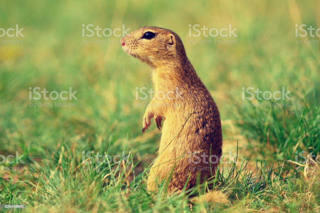 Alerted squirrel . Ground squirrel alert and watching around. Cute mammal stock photo