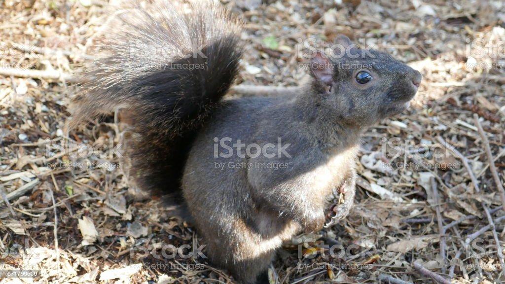 Alerted Squirrel stock photo