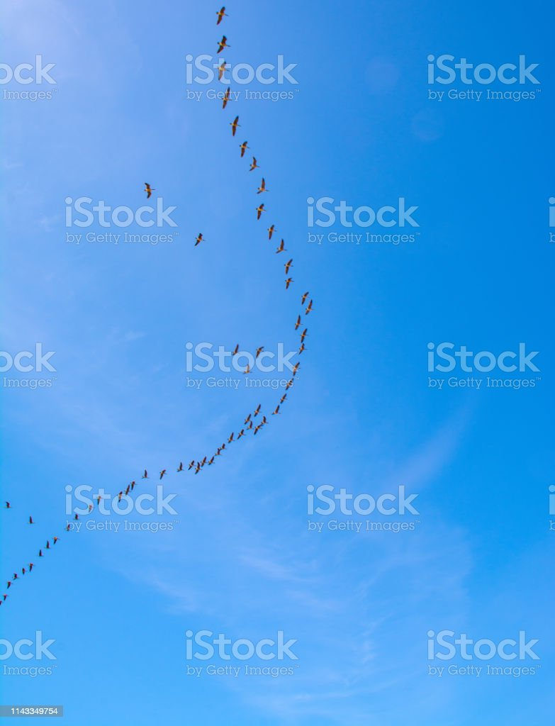 Aleutian Cackling Geese flying north in V formation from California...