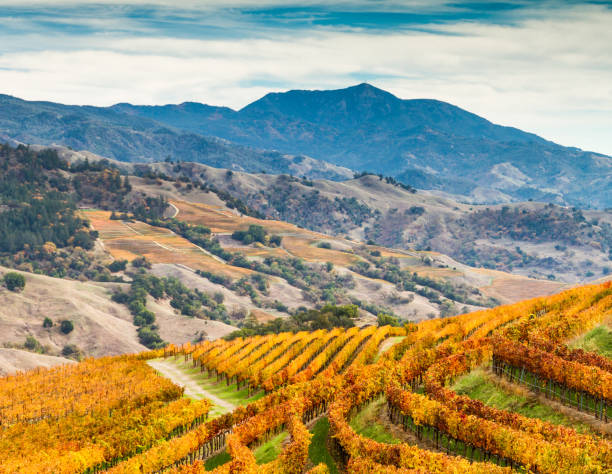 Alexander Valley Autumn Amber vineyards paint the sides of the Alexander Valley, with Mount St. Helena in the background. Sonoma County, California, USA sonoma stock pictures, royalty-free photos & images