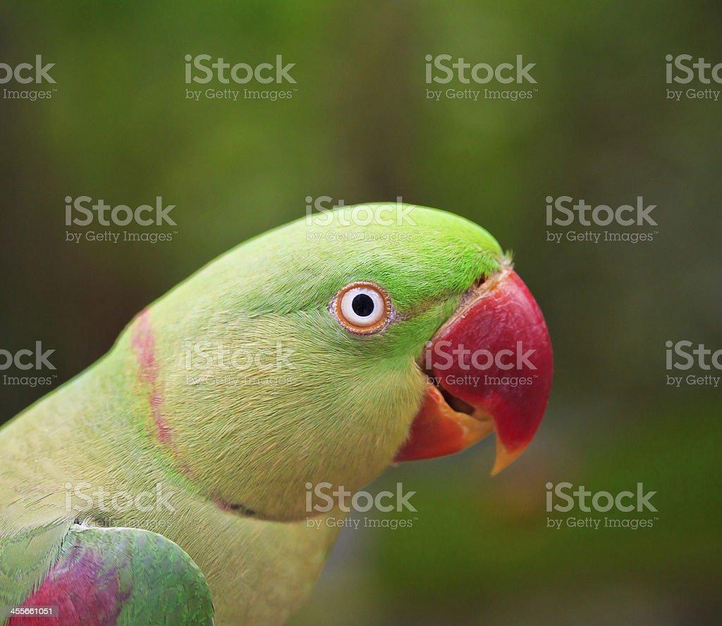 alexandrine parakeet psittacula eupatria Colorful parrot Beautiful stock photo
