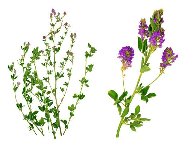alfalda - erba medica foto e immagini stock