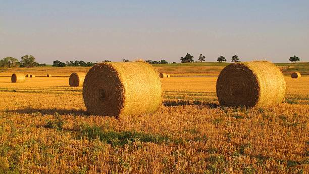 Alfalfa Bales 2 stock photo