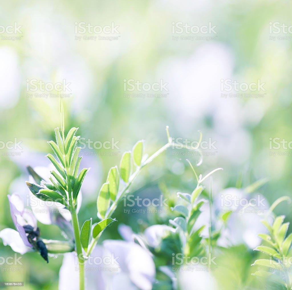 Alfalfa close-up stock photo