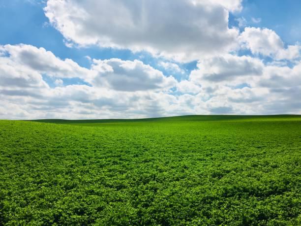 alfalfa field and cloudscape. - erba medica foto e immagini stock