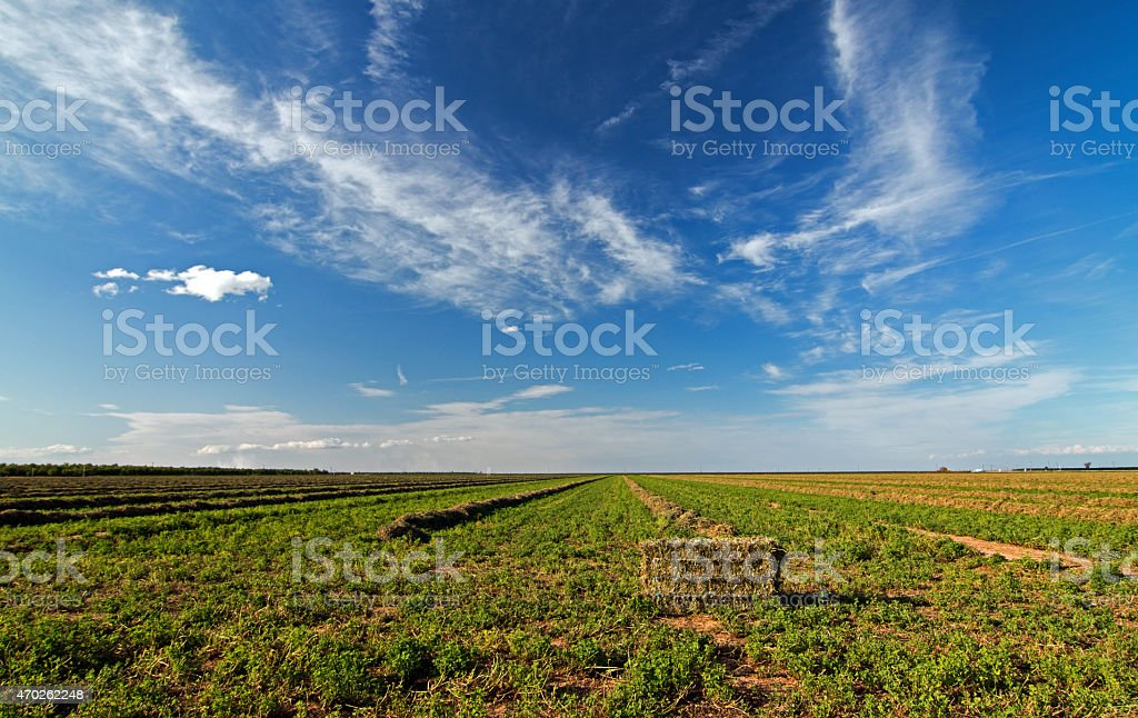 Alfalfa Field Central Valley Baled Cut and Raked stock photo