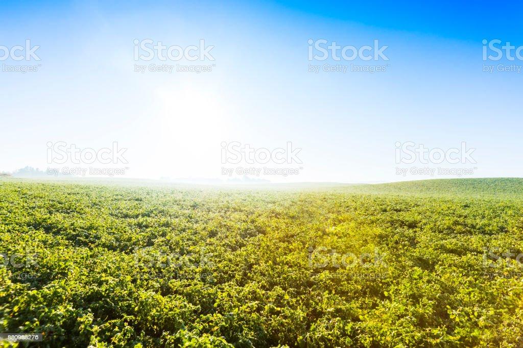 Alfalfa field in atmospheric morning light. stock photo
