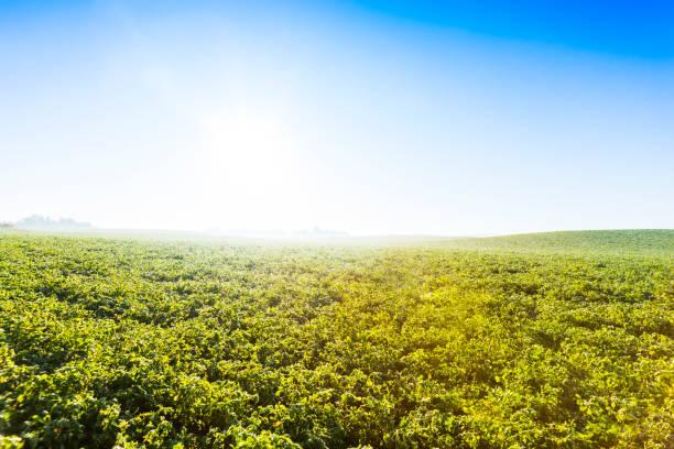 alfalfa field in atmospheric morning light. - erba medica foto e immagini stock