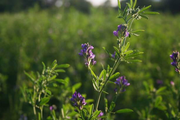 alfalfa field in bloom at the sunset. - erba medica foto e immagini stock