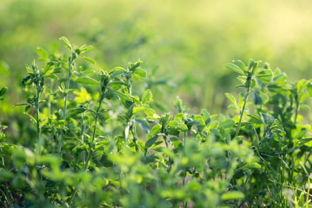 alfalfa field - erba medica foto e immagini stock