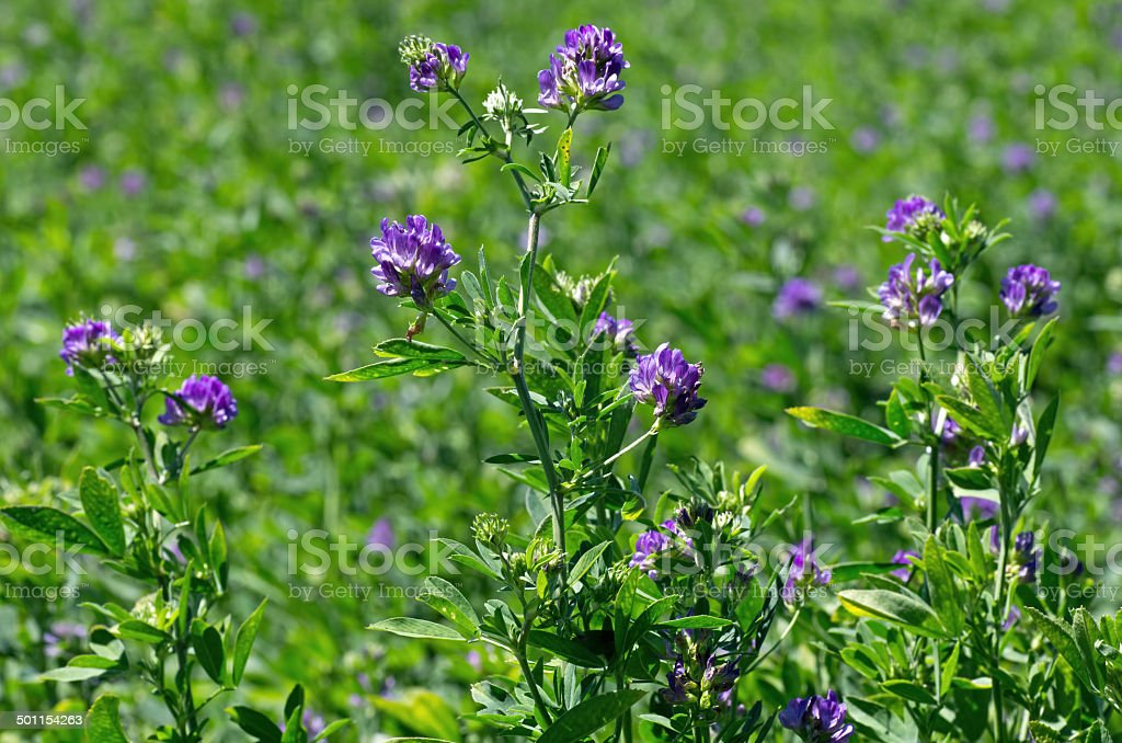 Alfalfa Field stock photo