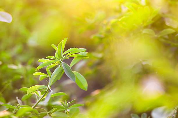 alfalfa campo - erba medica foto e immagini stock
