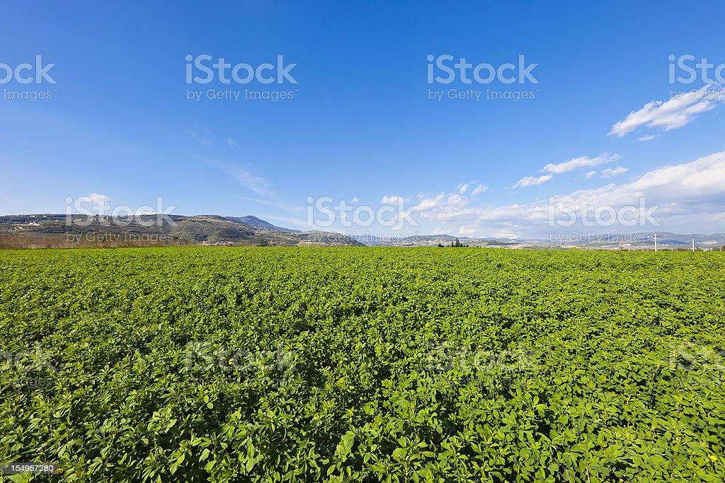 Alfalfa Field, Valpolicella stock photo