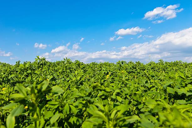 alfalfa campo, valpolicella - erba medica foto e immagini stock