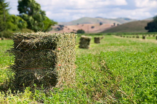 Alfalfa Harvest stock photo