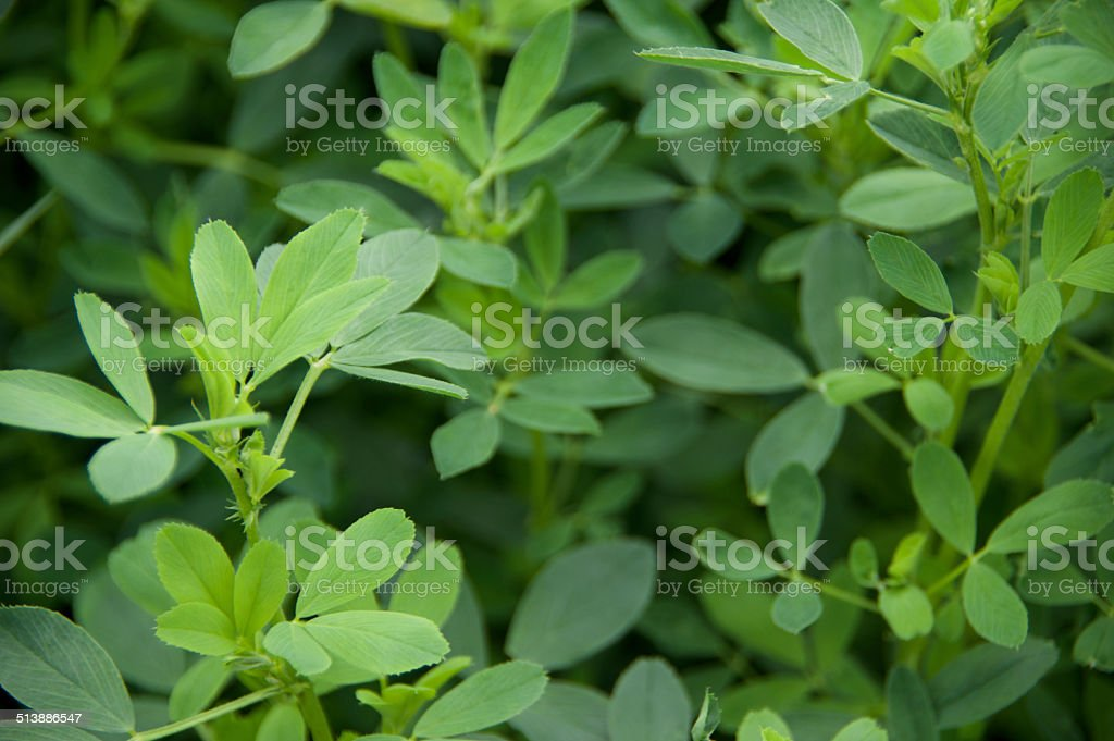 Alfalfa Leaves stock photo