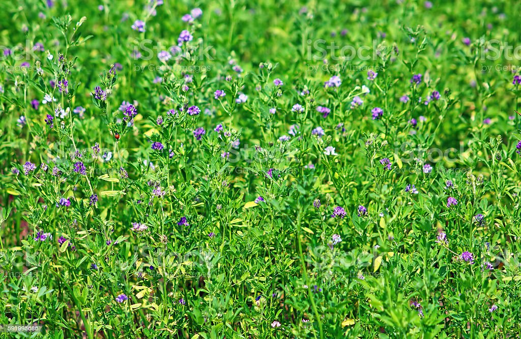 Alfalfa, Medicago sativa, also called lucerne stock photo