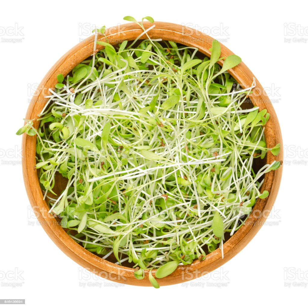 Alfalfa microgreens in wooden bowl over white stock photo