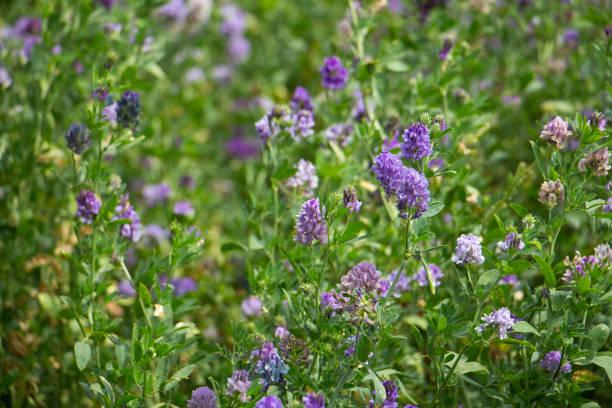 alfalfa - erba medica foto e immagini stock