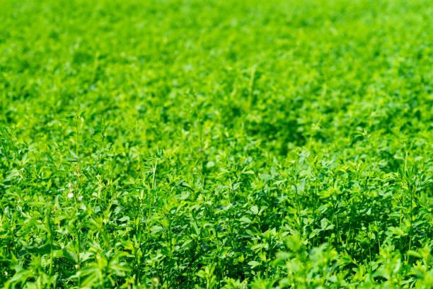 alfalfa plant. background. place for your text. - erba medica foto e immagini stock