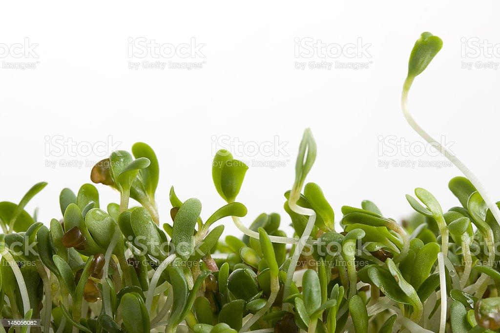 alfalfa sprouts on white stock photo